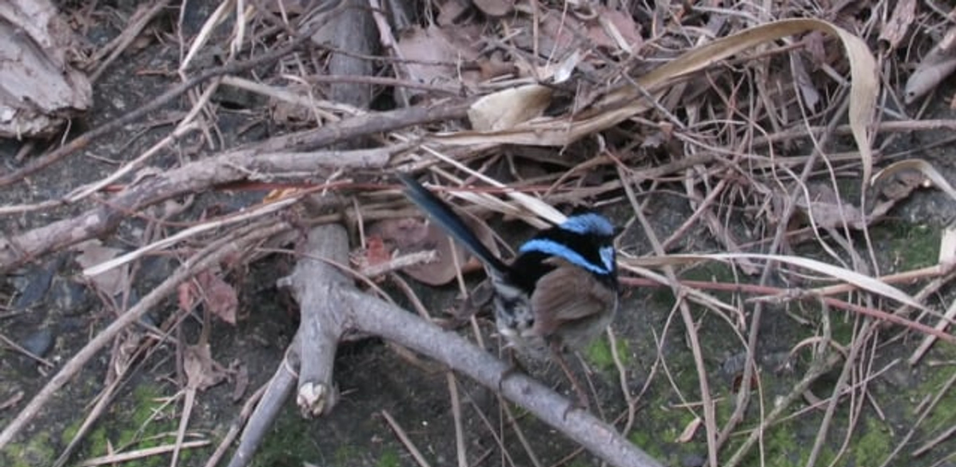 Male Superb Fairy-wren  male foraging on creek embankment
