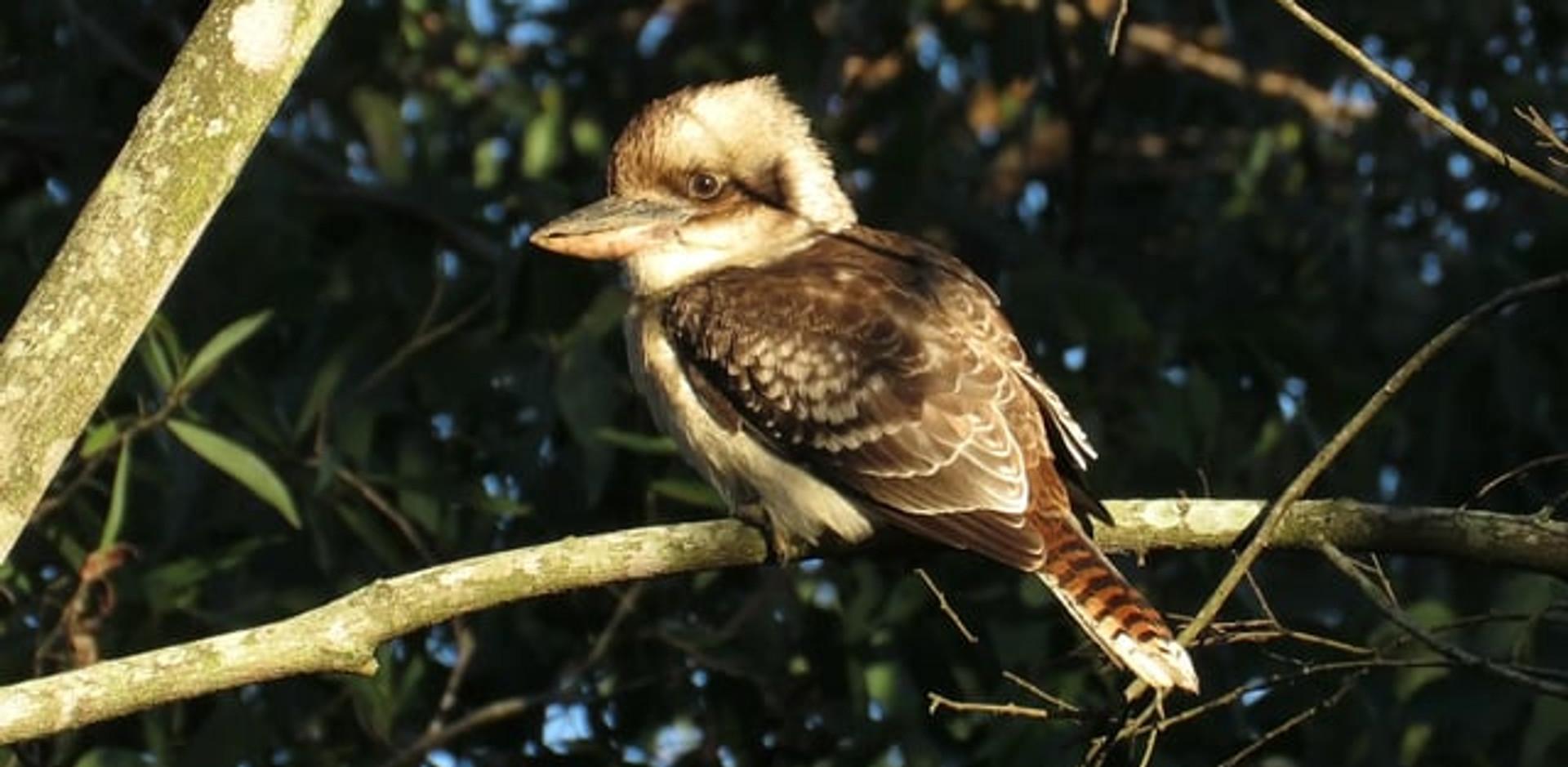 Adult Laughing Kookaburra in the morning sunlight
