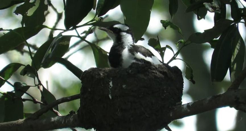 Juvenile Magpie-lark