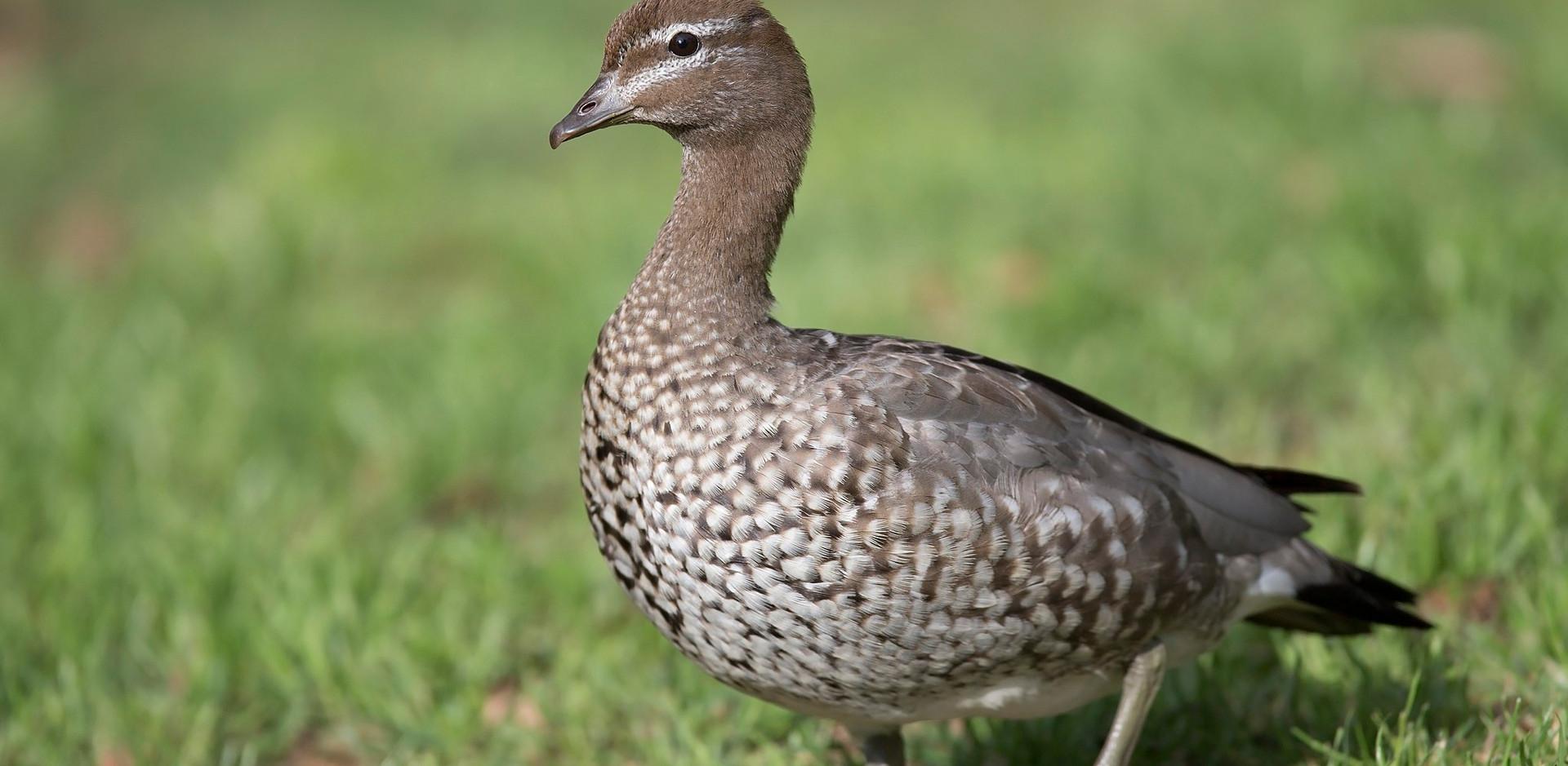 Female Australian Wood Duck