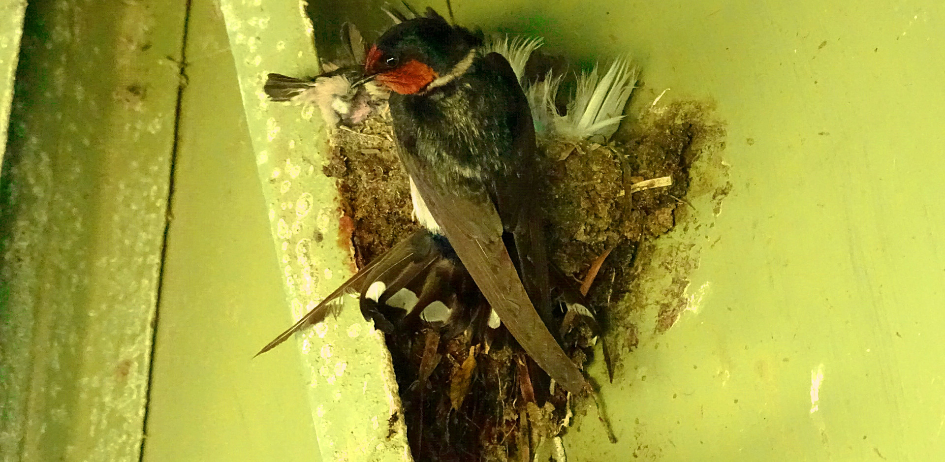 Welcome Swallow at the nest