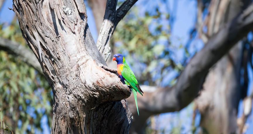 Rainbow Lorikeet at nest
