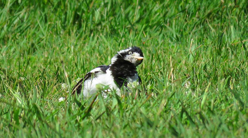 Adult female Magpie-lark sunbathing