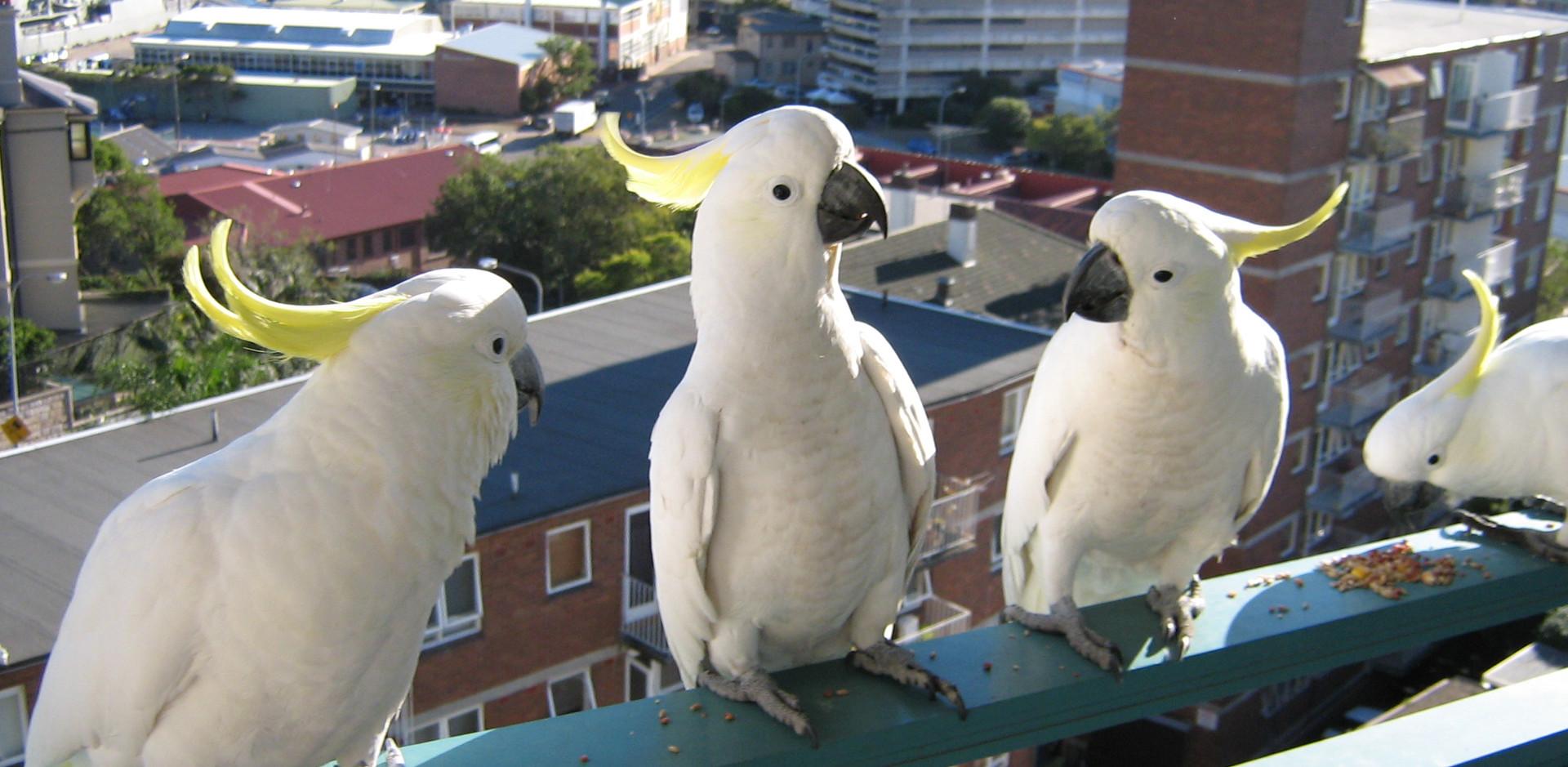 Sulphur-crested Cockatoos on a balcony, Sydney