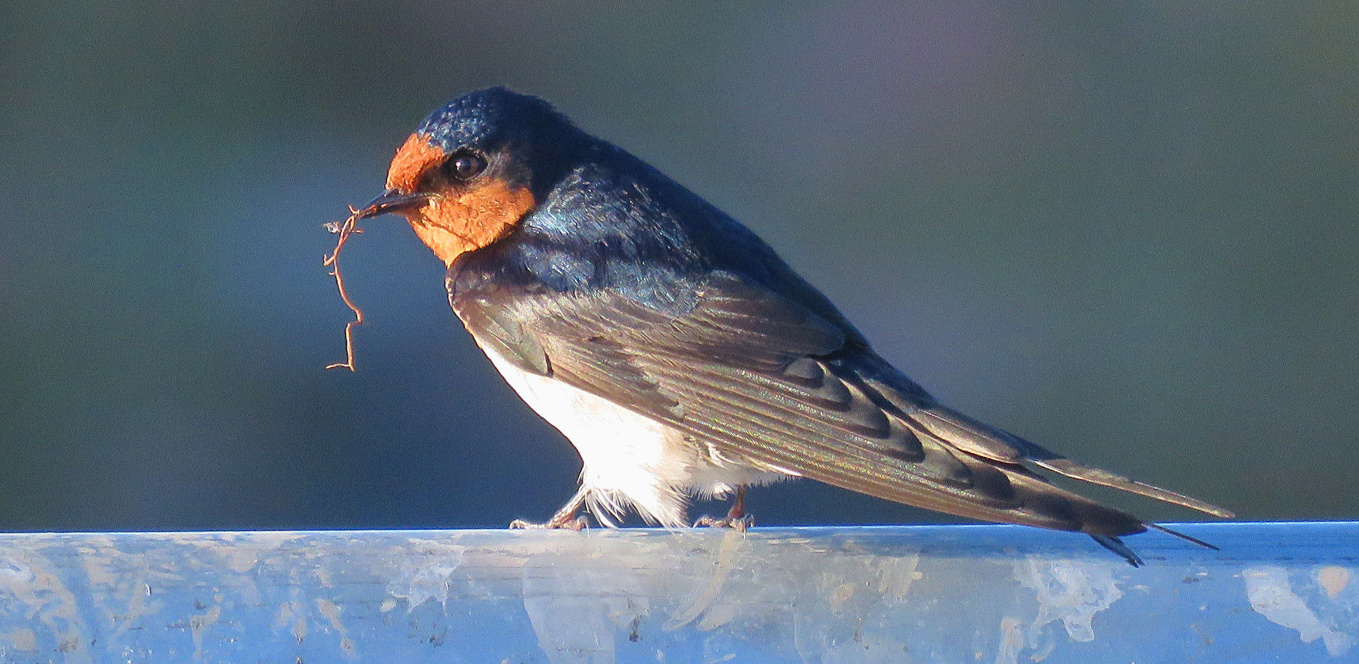 Welcome Swallow collecting nesting material