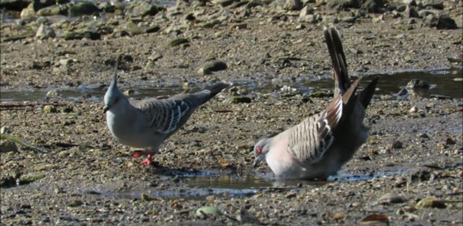 Crested Pigeon mating display