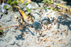 Three Snowy Plover eggs in a nest on the beach at Silver Strand Training Complex, San Diego County,