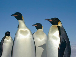 A group of Emperor penguins, the largest of all penguins.
