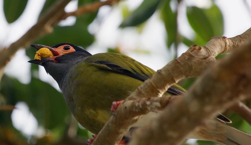 Adult male Australasian Figbird eating fruit