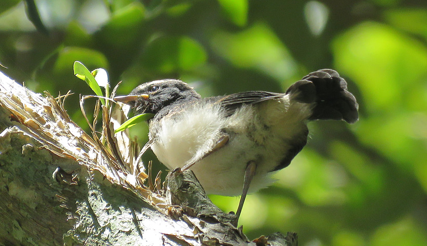 Recently fledged juvenile Willie Wagtail