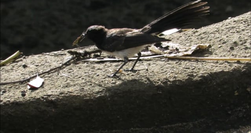 Adult Willie Wagtail feeding and calling