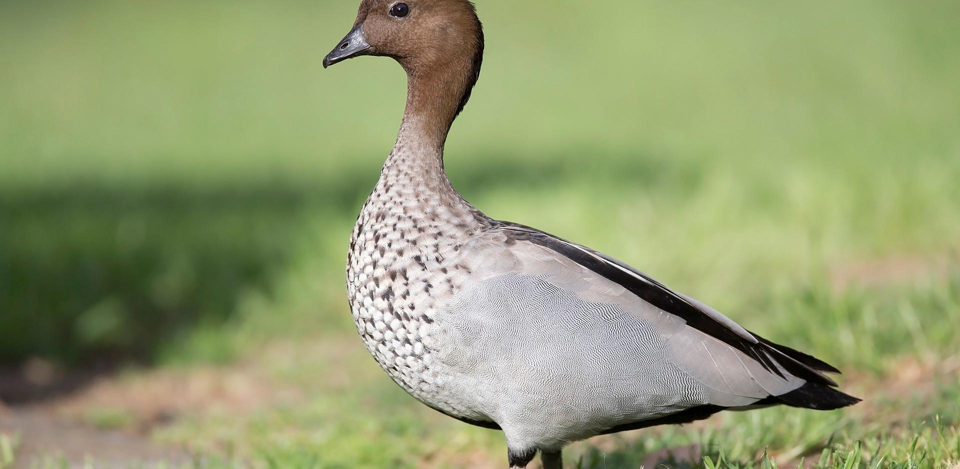 Male Australian Wood Duck