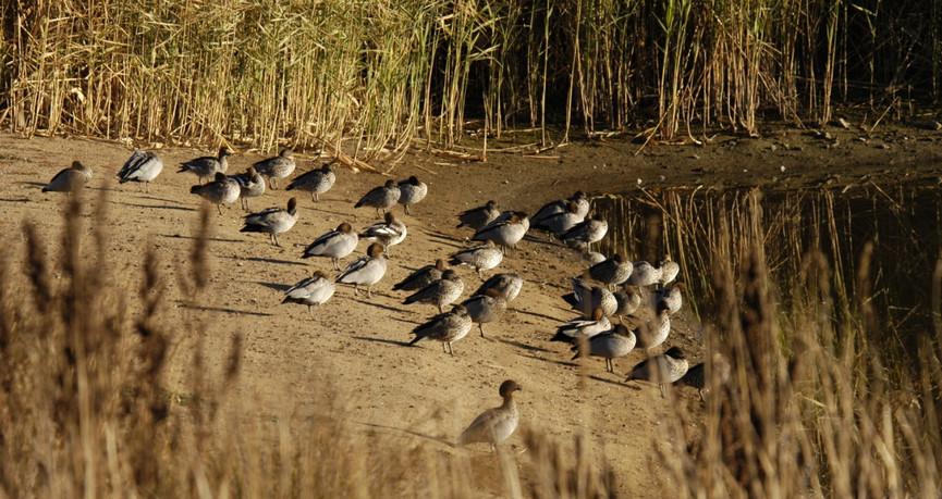 Flock of Australian Wood Ducks
