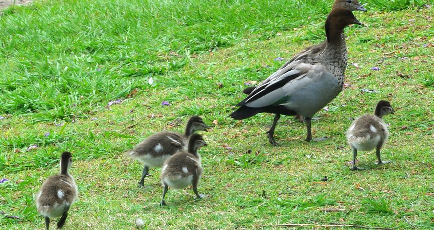 Family of Australian Wood Ducks