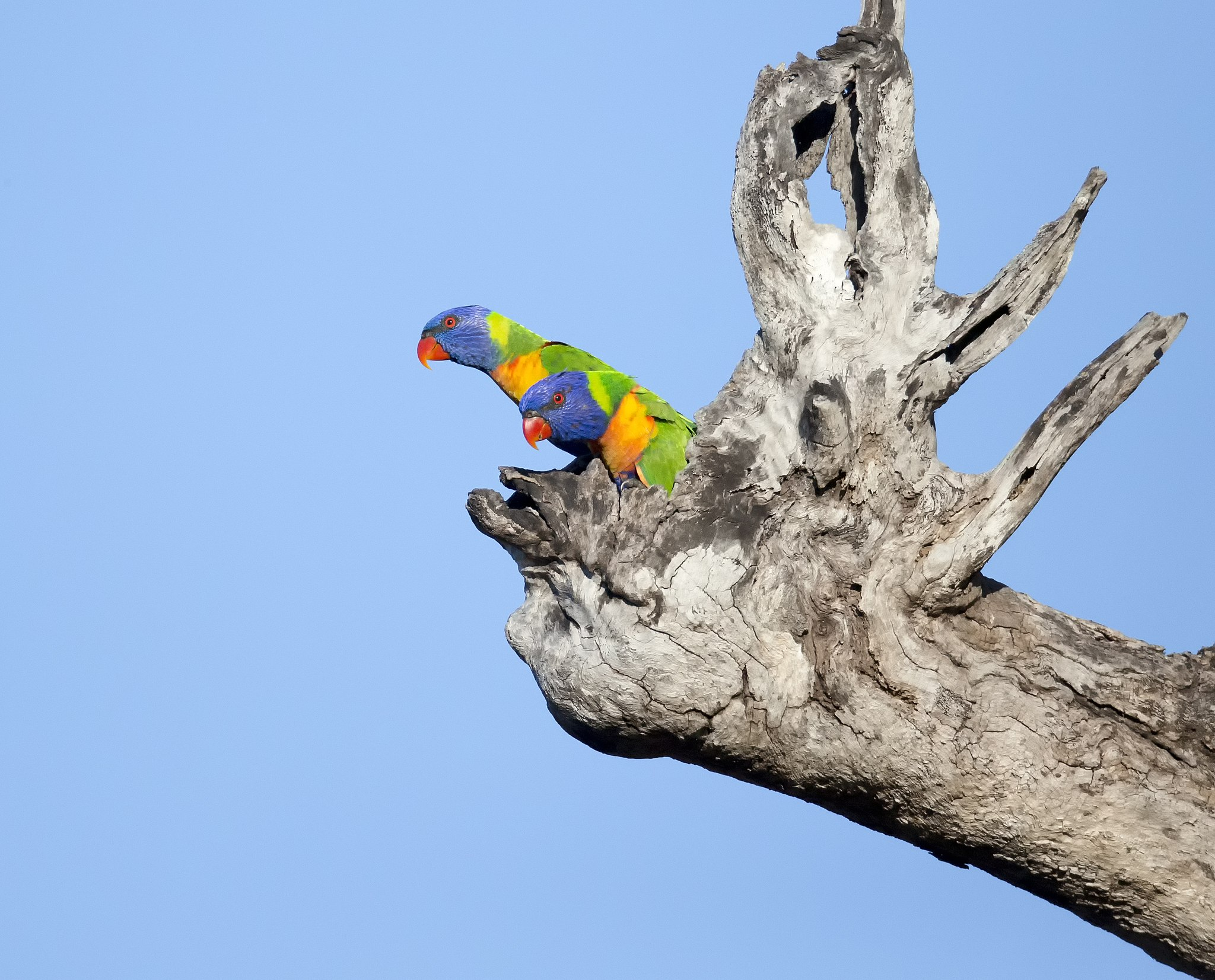 A nesting pair of rainbow lorikeets emerge. They are very pretty birds in the morning light