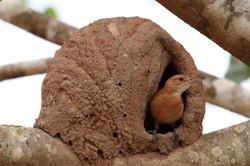 Rufous hornero or Red ovenbird (Furnarius rufus) and nest, the Pantanal, Brazil