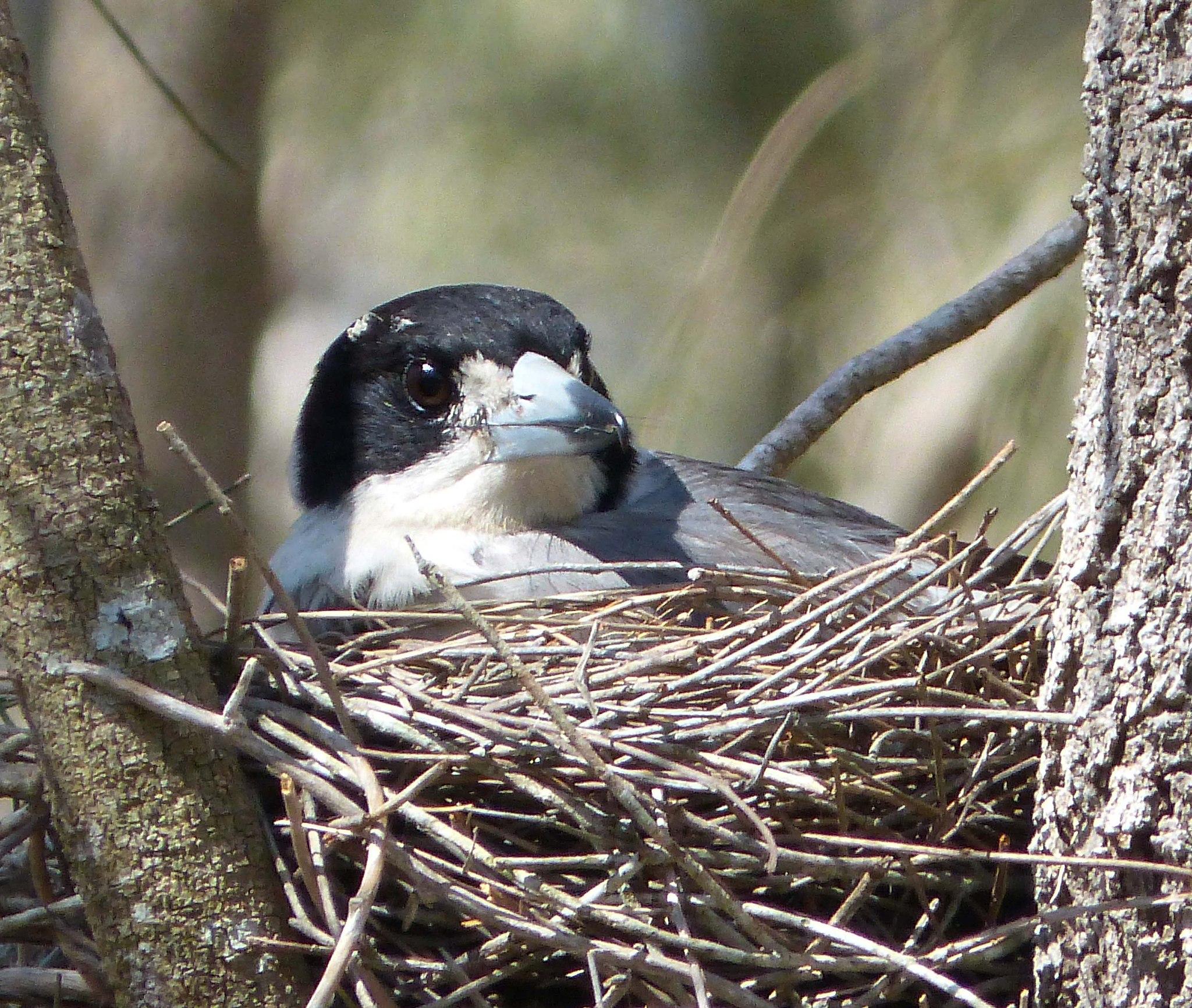 Grey Butcherbird. Boondall Wetland Reserve. Brisbane