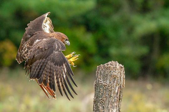 Red-tailed_hawk_landing Peter K Burian A