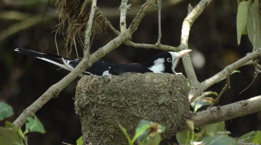 Adult female Magpie-lark on the nest