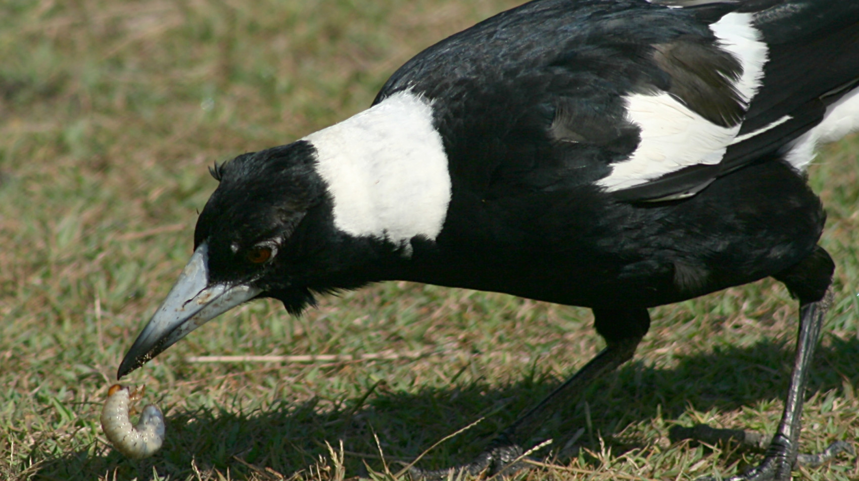 Adult male Australian Magpie foraging