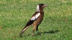 Australian Magpie, by Greg Nye