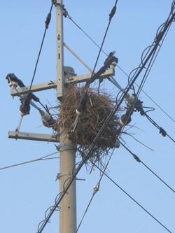 Magpie nest on utility pole, in Ōdakuma, Kawasoe, Saga.