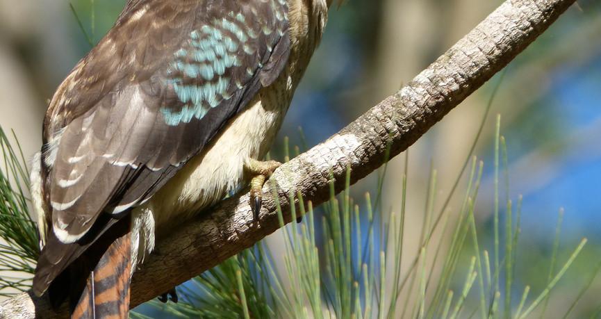 Adult Laughing Kookaburra