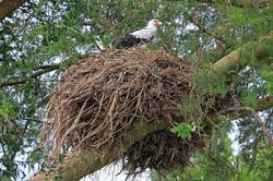 Palm nut vulture (Gypohierax angolensis) on nest, Kazinga Channel, Uganda