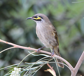 Yellow-faced Honeyeater. Sandra Gallienn