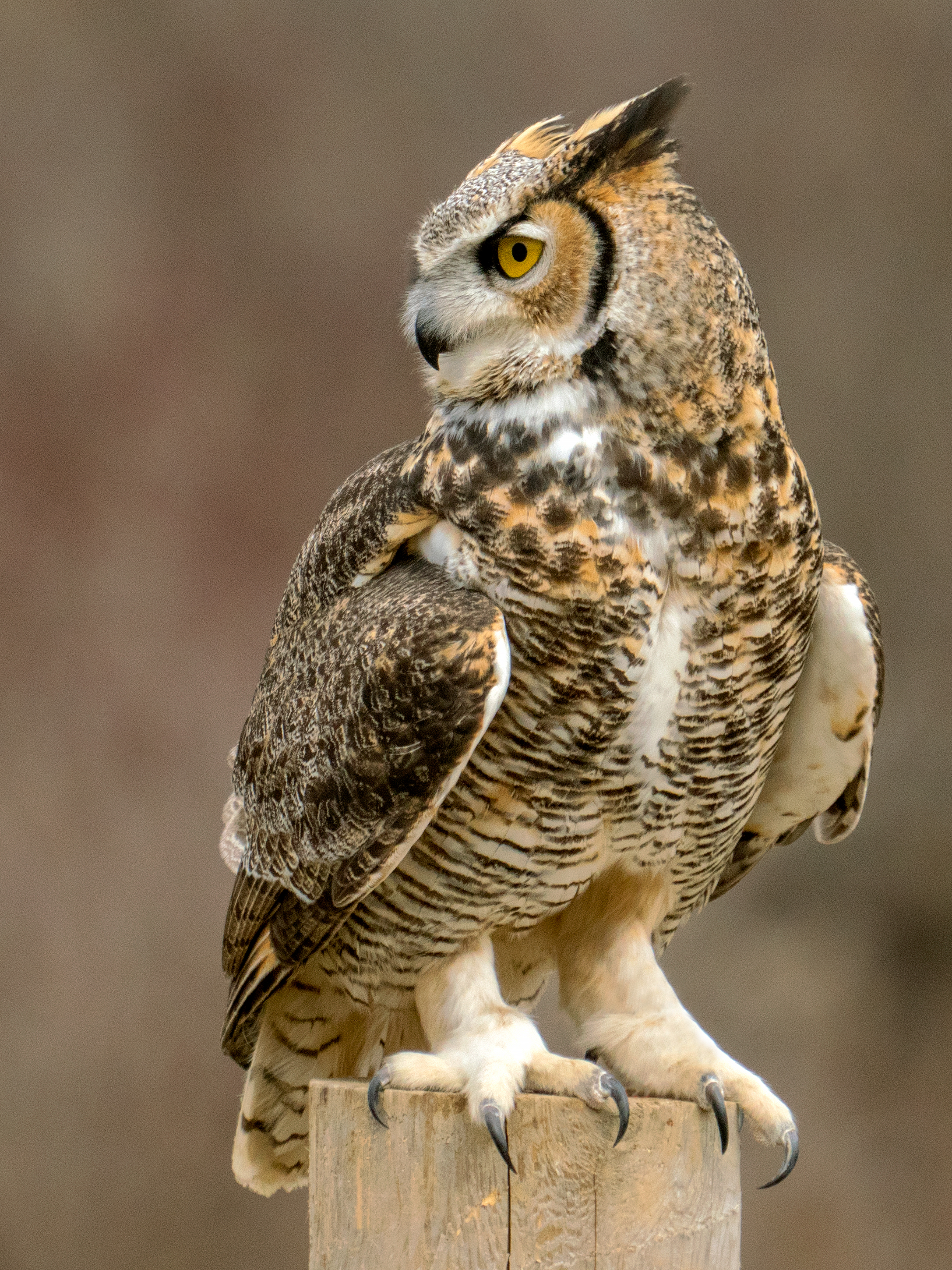 Talons, Great Horned Owl (Canada)