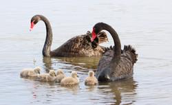 Black Swan. Sandra Gallienne