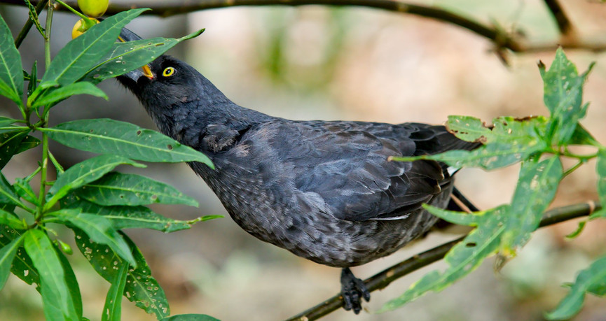 Young Pied Currawong