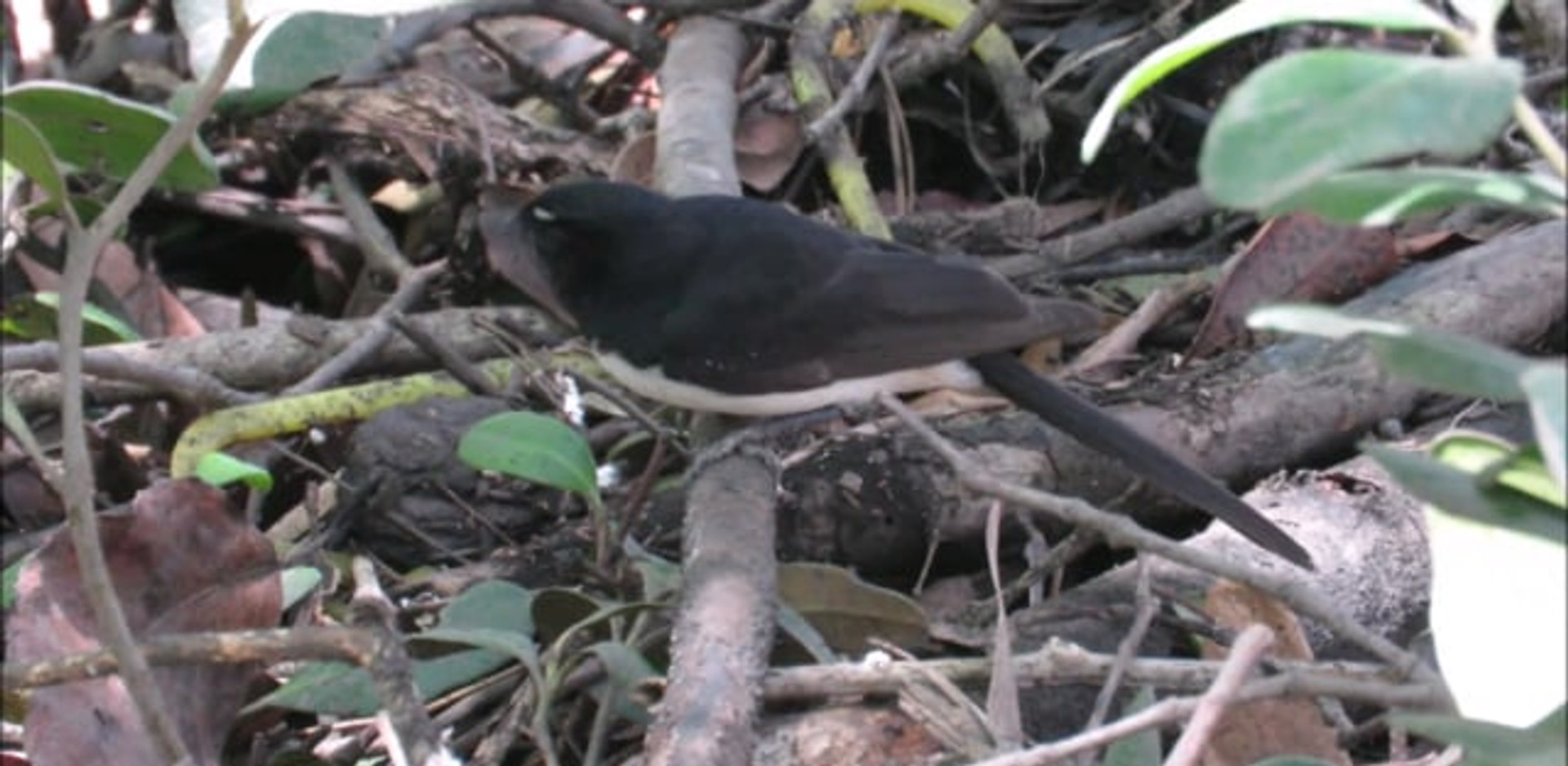 Adult Willie Wagtail catching insects