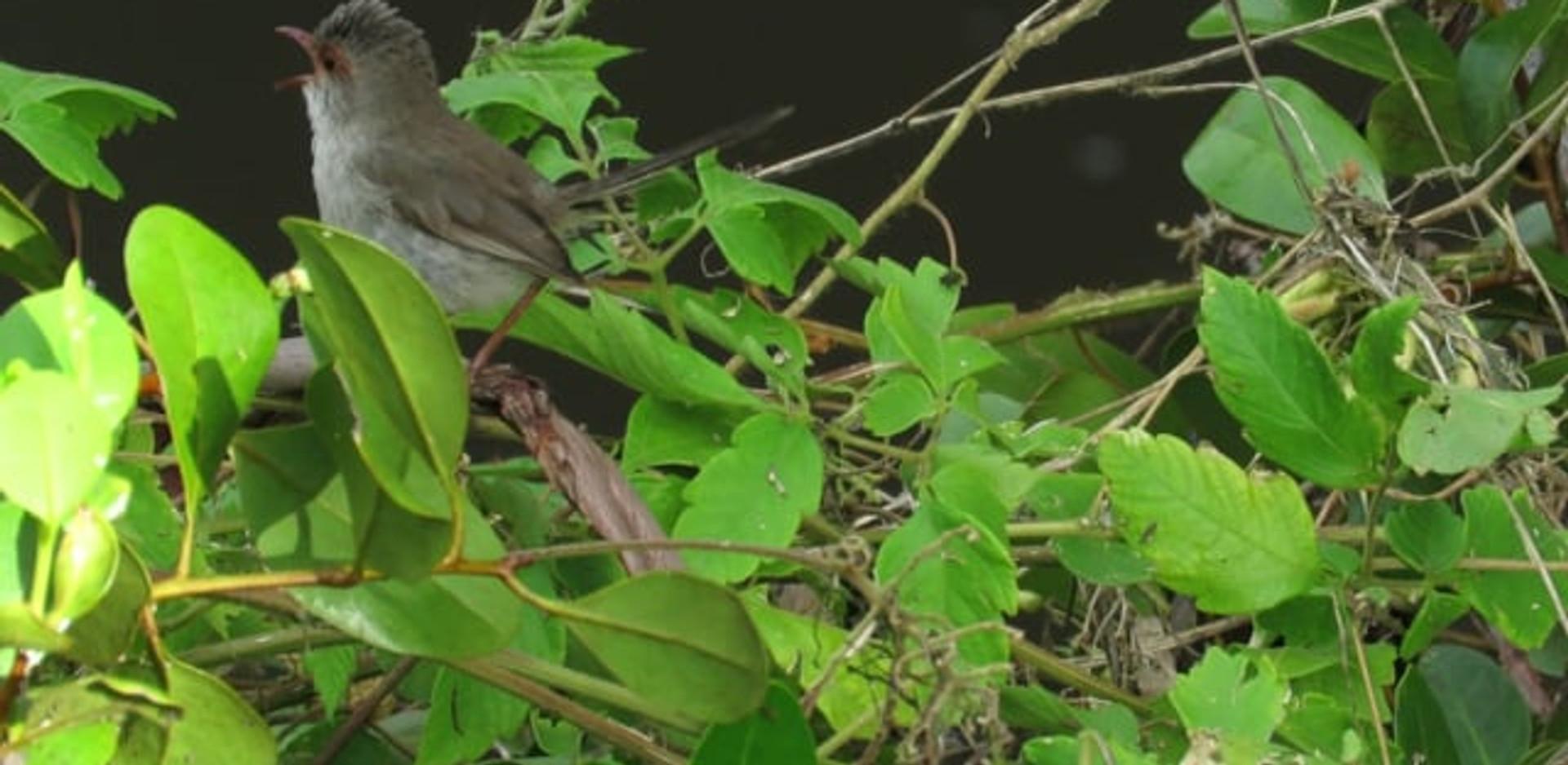 Adult female Superb Fairy-wren