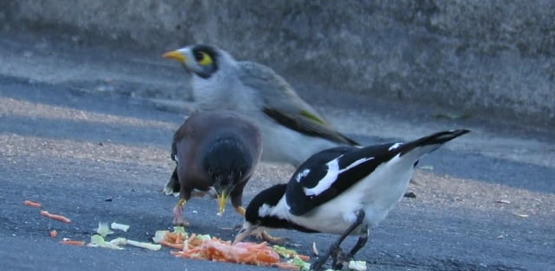 Magpie-lark scavenging