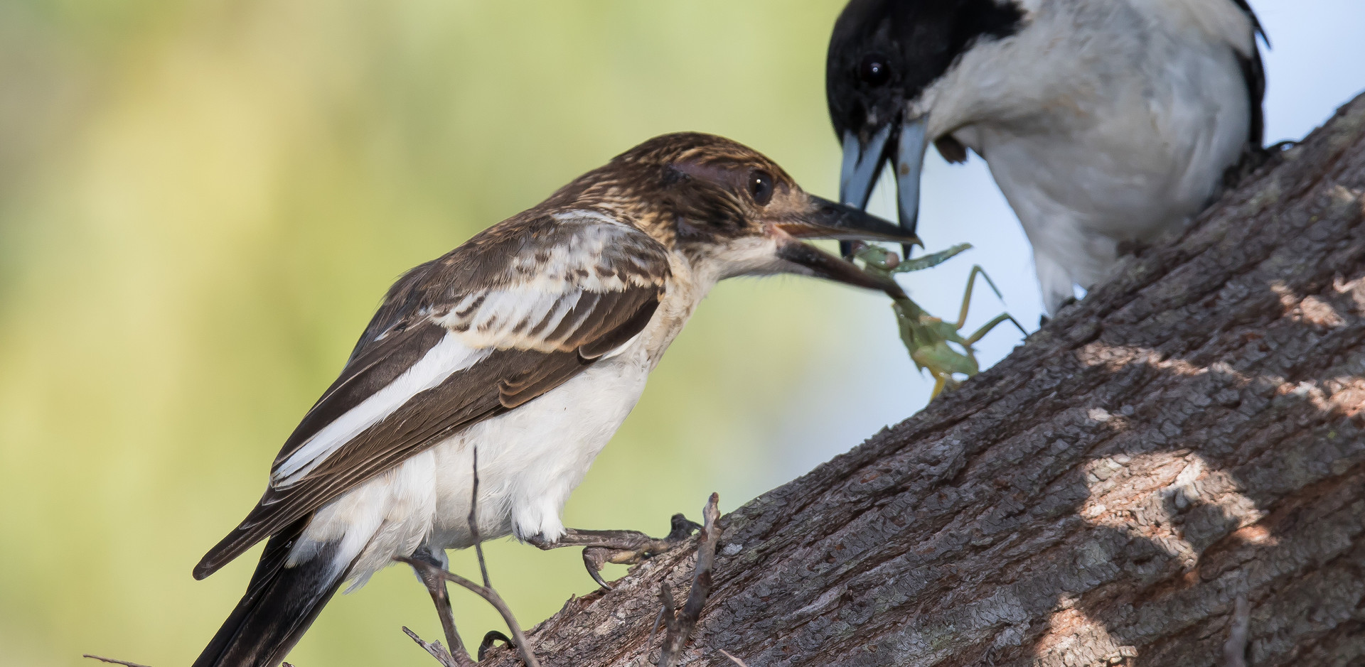 Grey Butcherbird feeding young