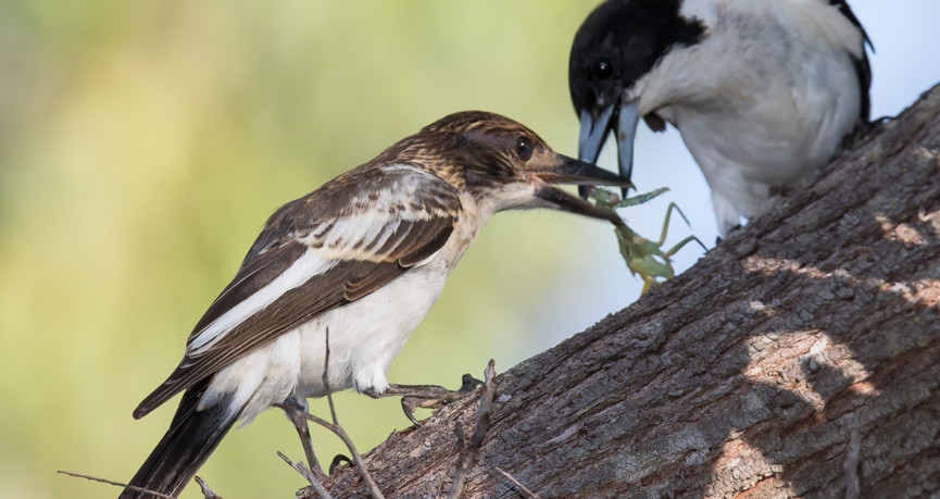 Grey Butcherbird feeding young
