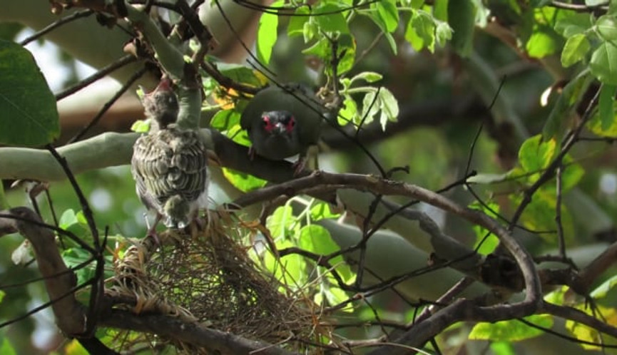 Male Australasian Figbird feeding chick