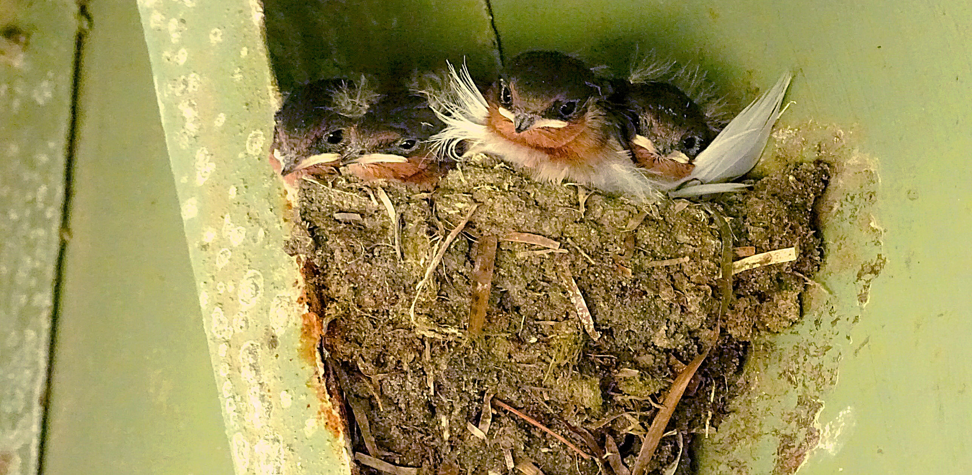 Welcome Swallow chicks in the nest