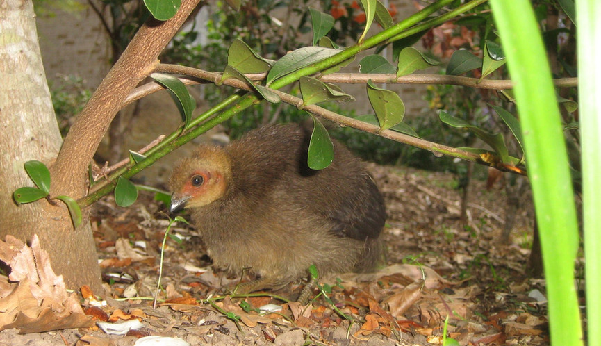 Juvenile Australian Brush-turkey