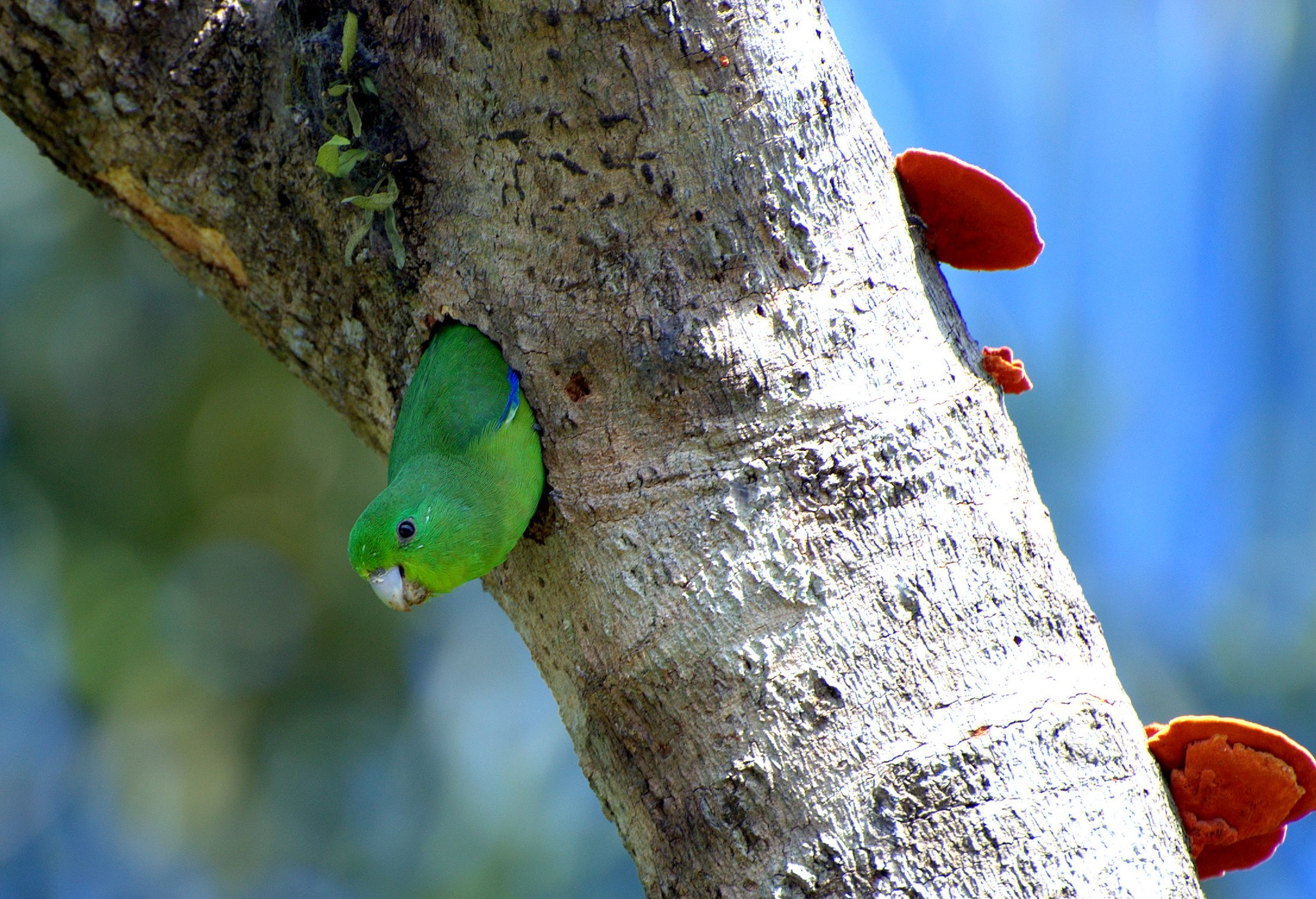A male Blue-winged Parrotlet (Forpus xanthopterygius) looking out from a nest in the Vale do Ribeira
