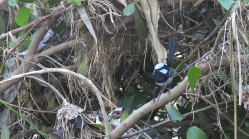 Superb Fairy-wrens attending their nest
