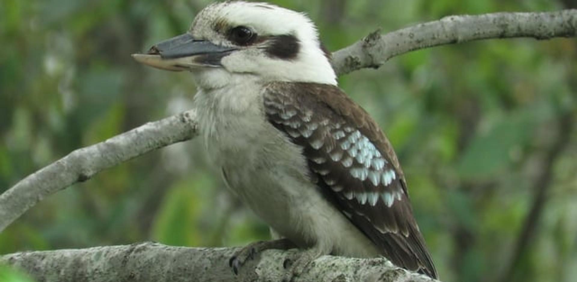 Adult Laughing Kookaburra with damaged beak