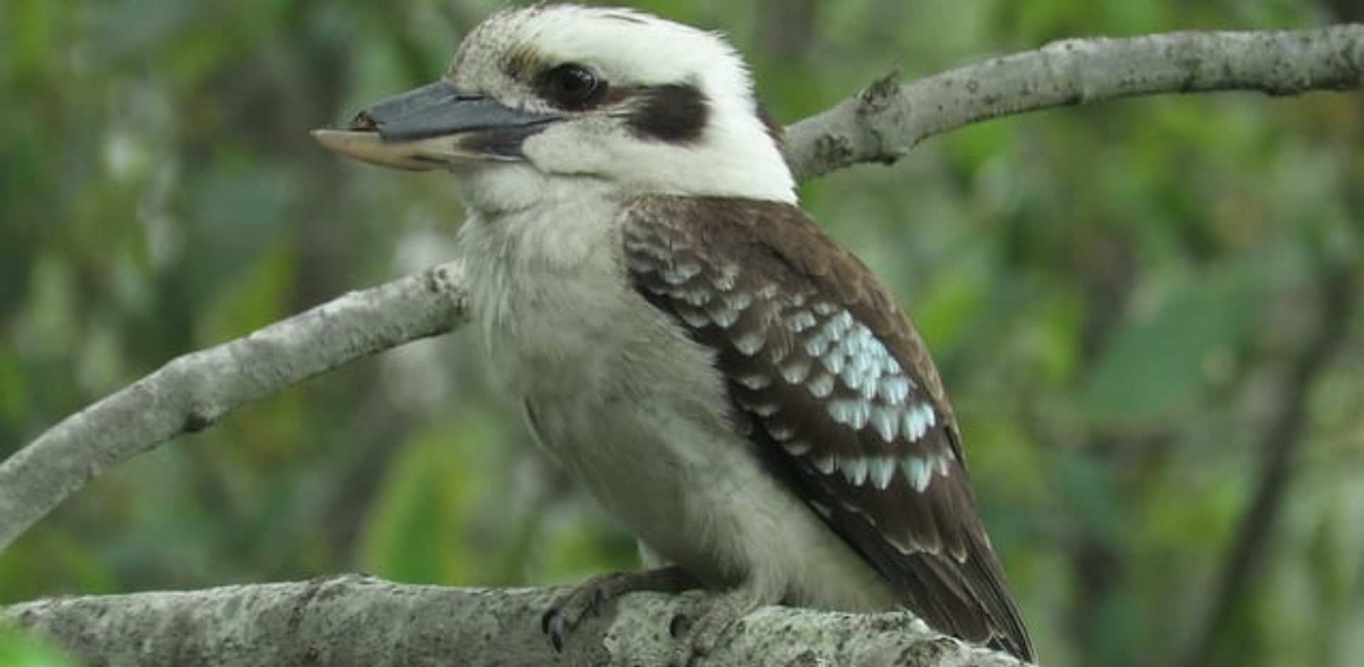Adult Laughing Kookaburra with damaged beak