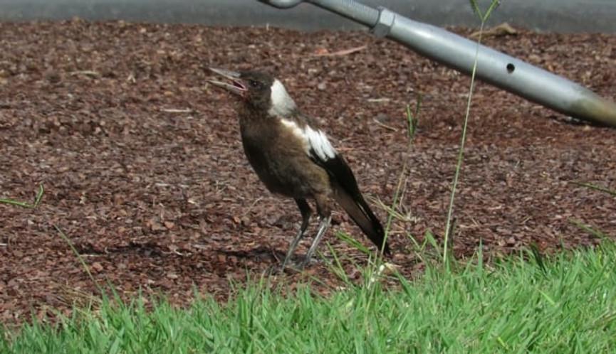 Juvenile Australian Magpie foraging