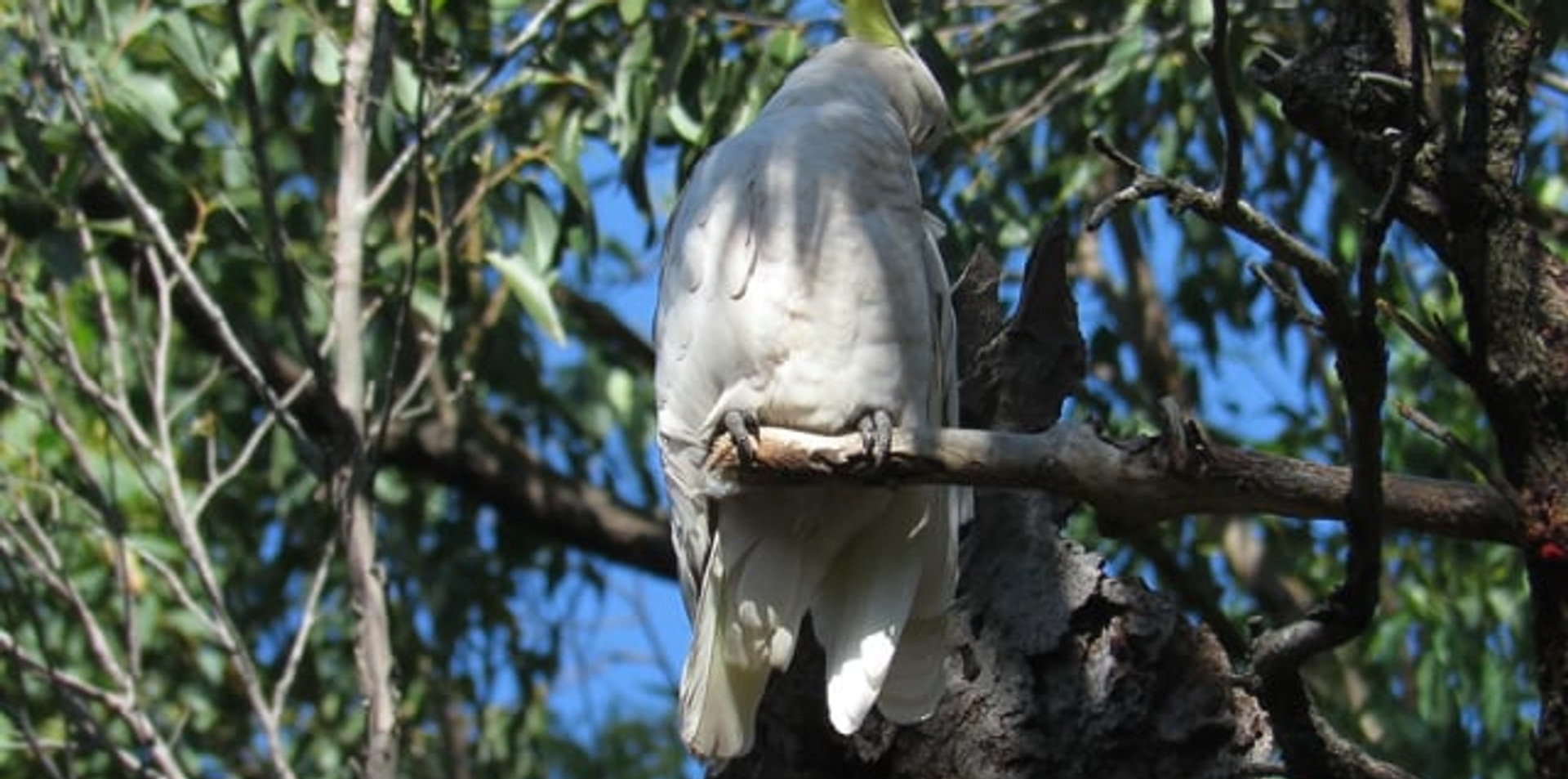 Sulphur-crested Cockatoo preening