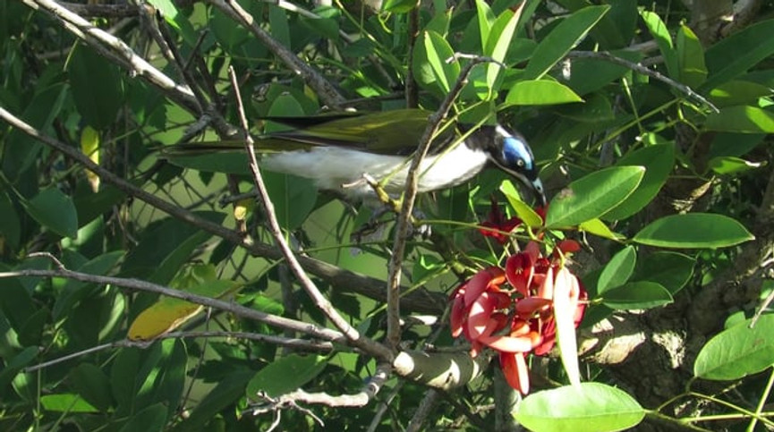 Adult Blue-faced Honeyeater feeding in Coral Tree