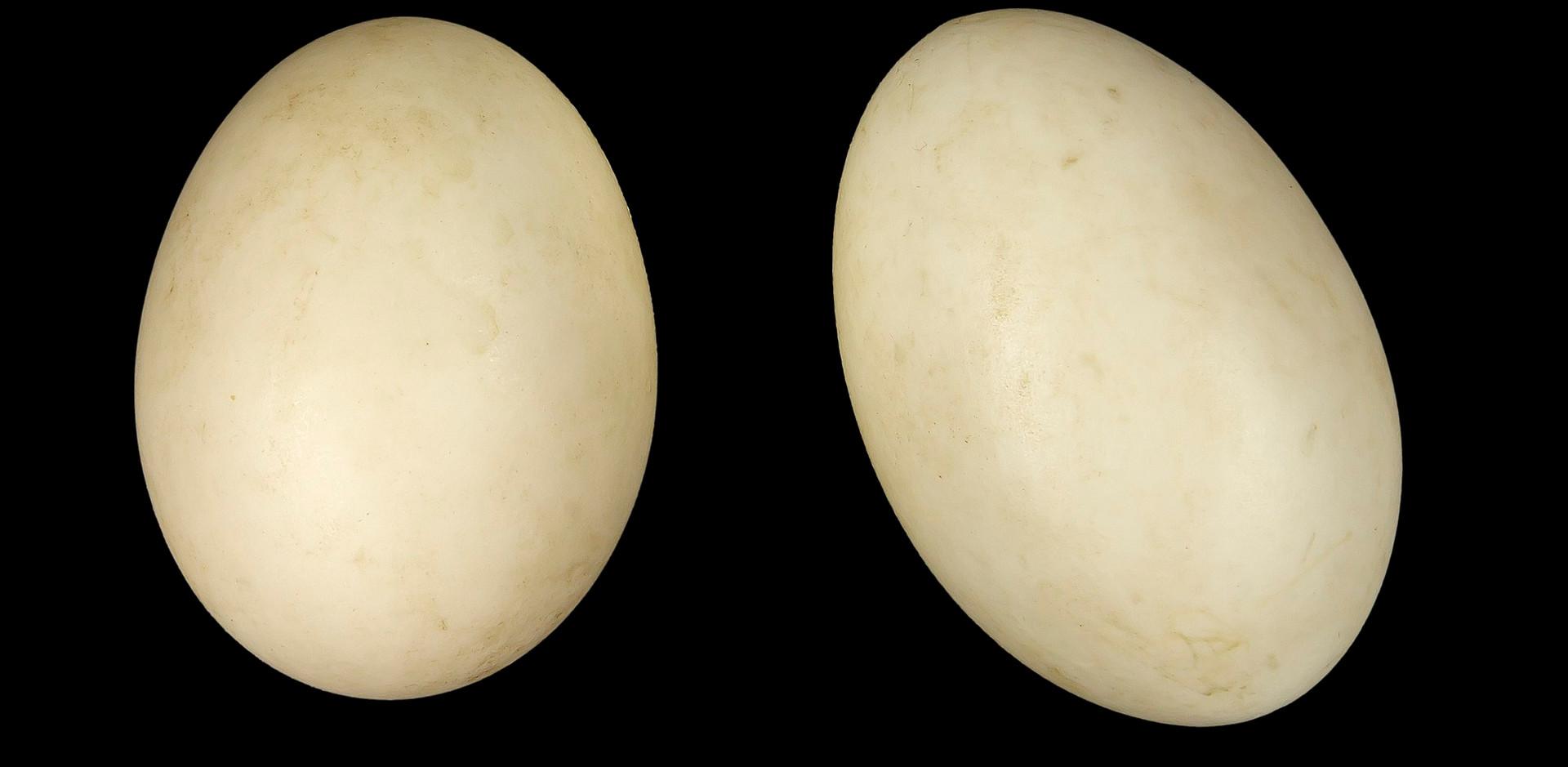 Australian Wood Duck eggs