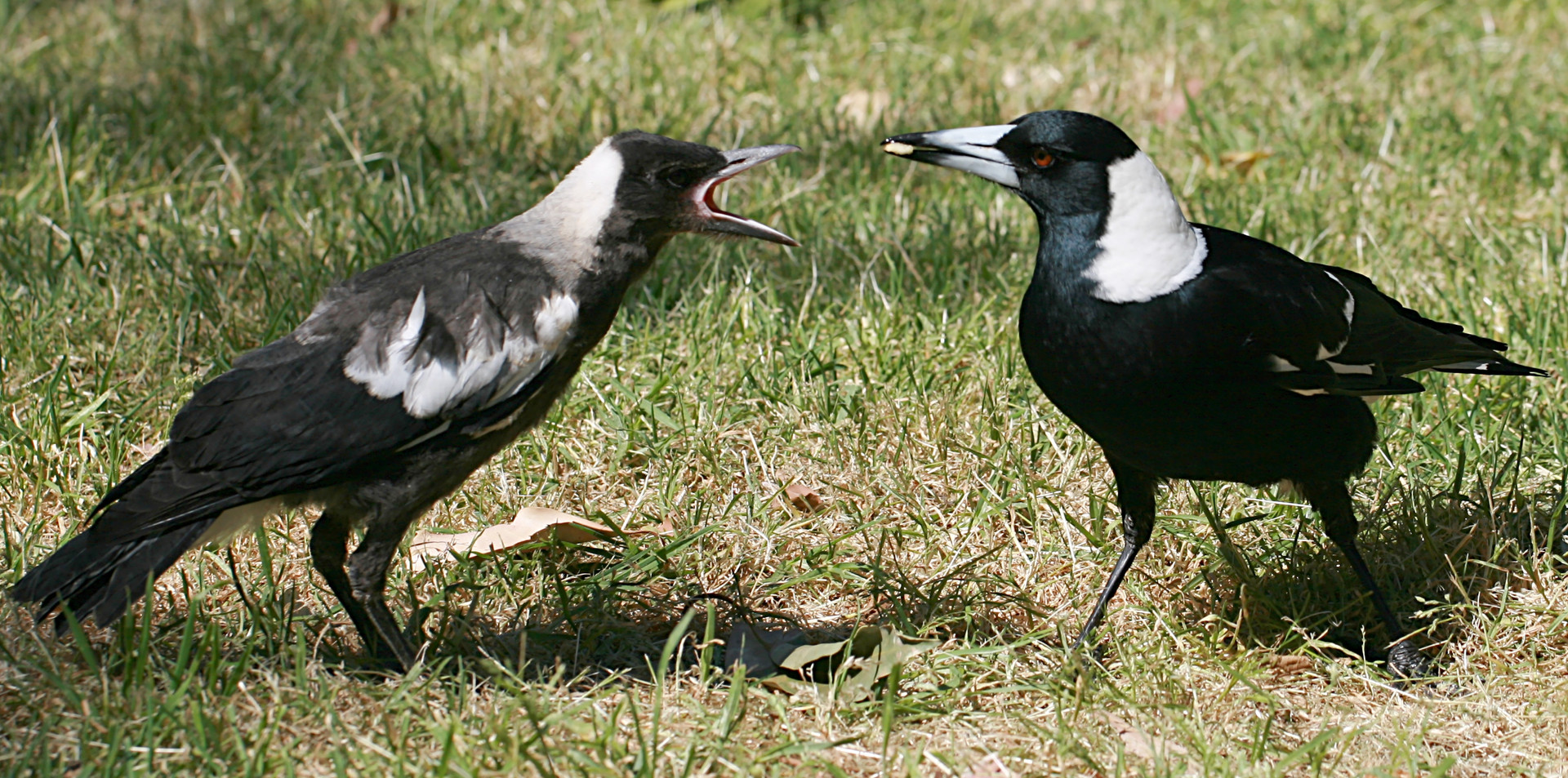 Adult Australian Magpie feeding young