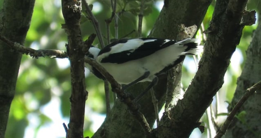 Young Magpie-lark